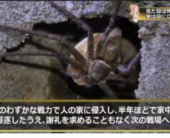 ゴキブリを捕食するアシダカグモを