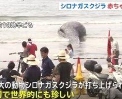 鎌倉由比ヶ浜にシロナガスクジラの死骸が流れる